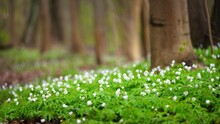 Forest Floor Of Blooming White...