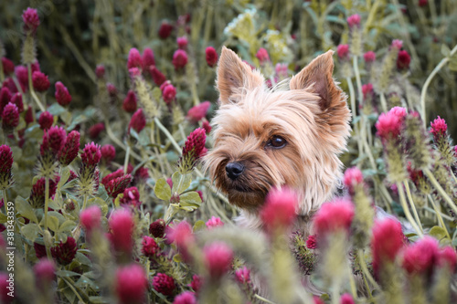 Small dog of yorkshire is sitting in crimson clover Canvas Print