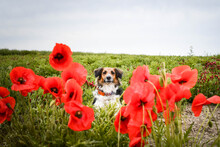 Portrait Of Black And White Bohemian Spotted Dog, Who Is Hidding In Poppy Seed. He Is So Cute