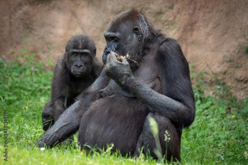Fotografía portrait of a gorilla in the zoo