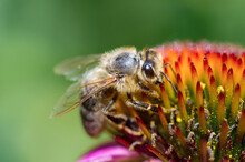 Honey Bee On A Blossoming Flower Of Echinacea Closeup