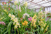 Orchid Flowers In Greenhouse