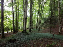 Der Waldboden Mit Grünen Pfla...