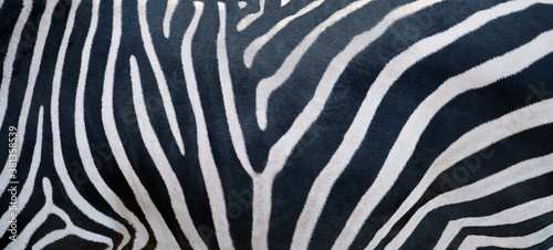 Natural texture of the zebra skin.