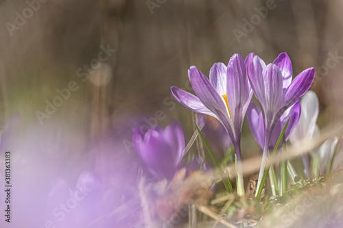 Canvas Print Purple crocus flowers