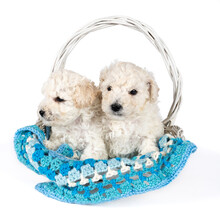 Small Miniature Toy Poodle Pup...