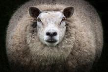 Close-up Of Big Mama Sheep Sta...