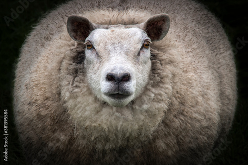 Fototapeta Close-up of Big Mama Sheep staring at camera obraz