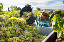 Hispanic Farm Worker Busy In Vineyard During Autumn Harvest, Loading Freshly Picked Grapes In Truck.