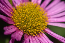 Close Up Of Aster Flower With ...