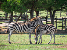View Of Two Zebras In A Zoo Wi...