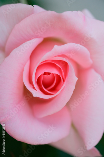 Fototapeta ピンク色の薔薇 obraz na płótnie