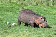 Hippo Grazing In Amboseli National Park, With Cattle Egret, Little Egret And Blacksmith Plover Alongside