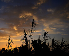 Backlit Reeds And Prickly Pear...