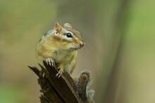 Eastern Chipmunk (Tamias Stria...