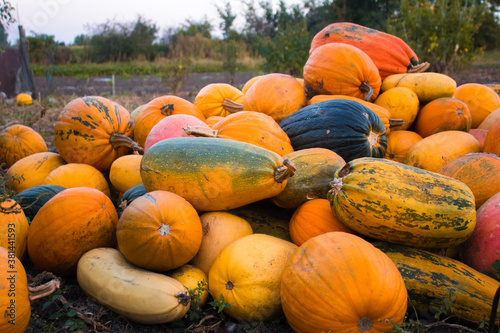 Fotografiet A group of multicolored pumpkins in garden on the ground after harvest