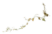Dried Stem Of Clambering Plant With Leaves And Dried Flowers On White Background