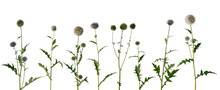 Various Twigs Of Tall Globe Thistle With Green Dried And Blooming Inflorescences On White Background