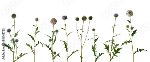 Fotografia Various twigs of tall globe thistle with green dried and blooming inflorescences