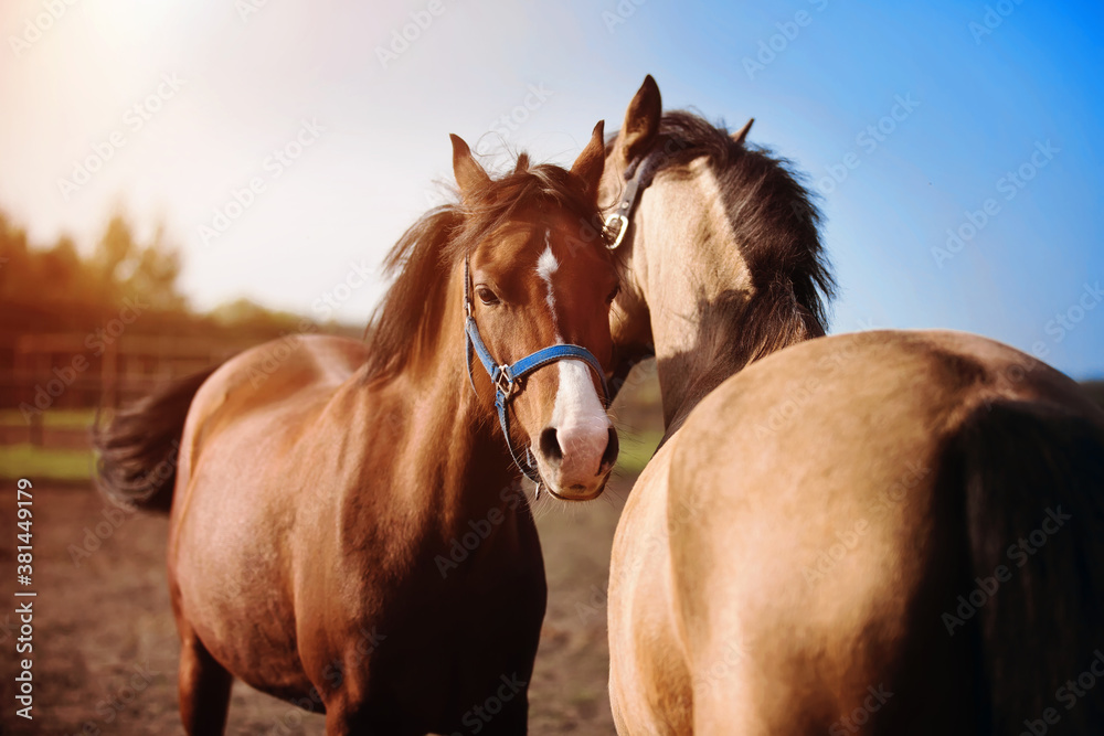 Two domestic horses tenderly stand next to each other in a paddock on a farm, illuminated by sunlight on a summer day. Livestock.