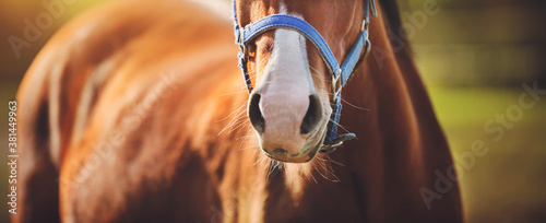 Fototapeta The nose of a small, playful bay horse with a blue halter on its muzzle, which stands in the middle of a field on a summer day, illuminated by bright sunlight. Livestock. obraz