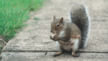 A Squirrel Eating Monkey Nut