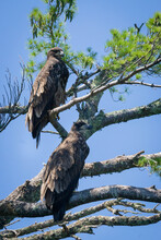 Young Bald Eagles