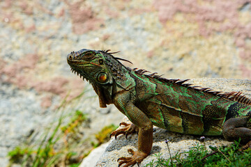 Green Iguana, also known as Common or American iguana, on nature background. Iguana dragon.