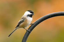 A Black-capped Chickadee Perch...