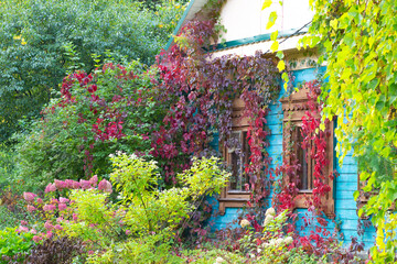 old blue wooden house in the garden  in red and green grape plant with blooming flowers in front in sunny autumn day