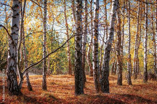 Wild birch forest with fallen yellow leaves. Autumn landscape. © Inna Horosheva
