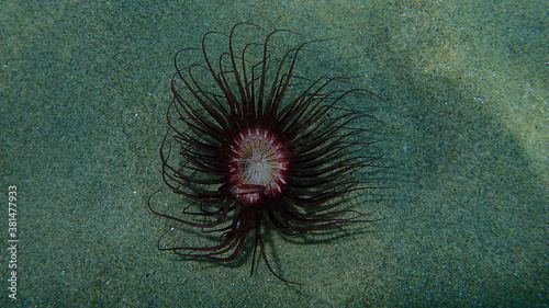 Fotomural Cylinder anemone or coloured tube anemone (Cerianthus membranaceus) undersea, Ae