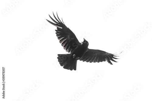 Isolated carrion crow in flight with fully open wings Fotobehang