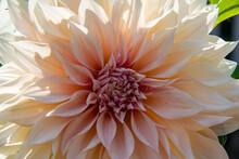 Close-up Of A Peach Dahlia Flo...