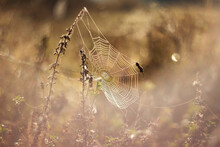 Spider Web In Morning. A Spider's Web On A Foggy Morning In Dewdrops.