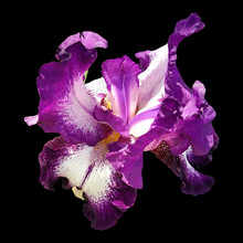 Beautiful Graceful Iris Flower Of White-purple Color On A Black Background. Isolate. Square Image. Stamens And Pistils
