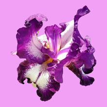 Beautiful Graceful Iris Flower Of White-purple Color. Nice Pink Background. Isolate. Square Image. Stamens And Pistils