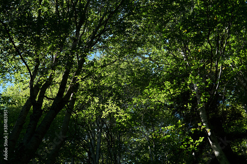 Fotografía tree crowns with green foliage - a look from the bottom up in a beech grove