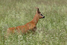 Young Roe In A Dynamic Pose Jumping Over A Meadow Full Of White Flowers. Roe Deer, Capreolus Capreolus.
