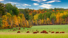 Grazing Cattle In Autumn In Wi...