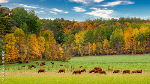 Grazing Cattle in Autumn in Wisconsin