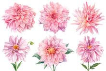 Pink Dahlias Isolated White Ba...