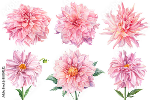 Fotografering Pink dahlias isolated white background, watercolor botanical painting, delicate