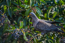 Colorful Rameron Or Olive Pigeon Perched On An Elderberry Tree And Feeding , Known As Columba Arquatrix Scientifically