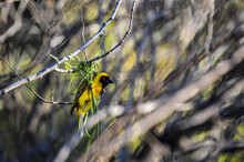 Southern Masked Yellow Weaver , Ploceus Velatus Perched And Working During Breeding Season