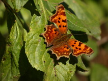 Comma Butterfly (Polygonia C-album) - Orange Butterfly On Green Leaves, Gdynia, Poland
