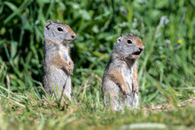 Young Uinta Ground Squirrel (U...