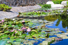 A Pond Filled With Large Lush Green Leaves And Pink And Red Water Lilies On The Pond In A Japanese Garden In California