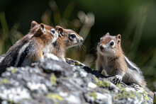 Young Golden-mantled Ground Squirrel (Callospermophilus Lateralis), Grand Teton National Park