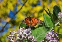 Monarch Butterfly On Leaf Whil...